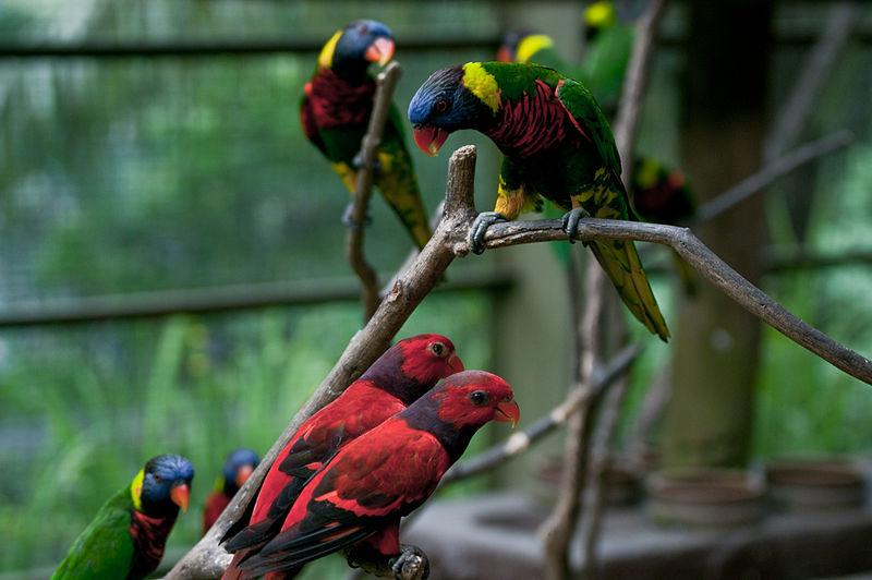 800px-Lorikeets_-Kuala_Lumpur_Bird_Park,_Malaysia-8a