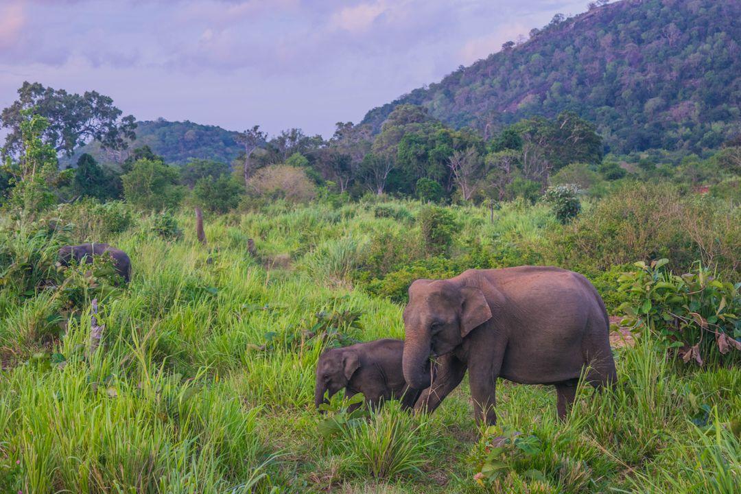 Sri Lanka Elephants - Arugam Bay Things to do