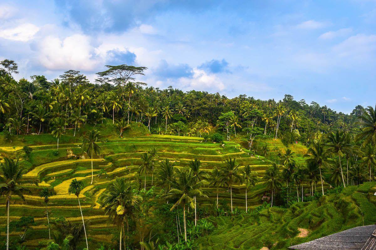 Ubud Rice Terraces - Week Bali itinerary