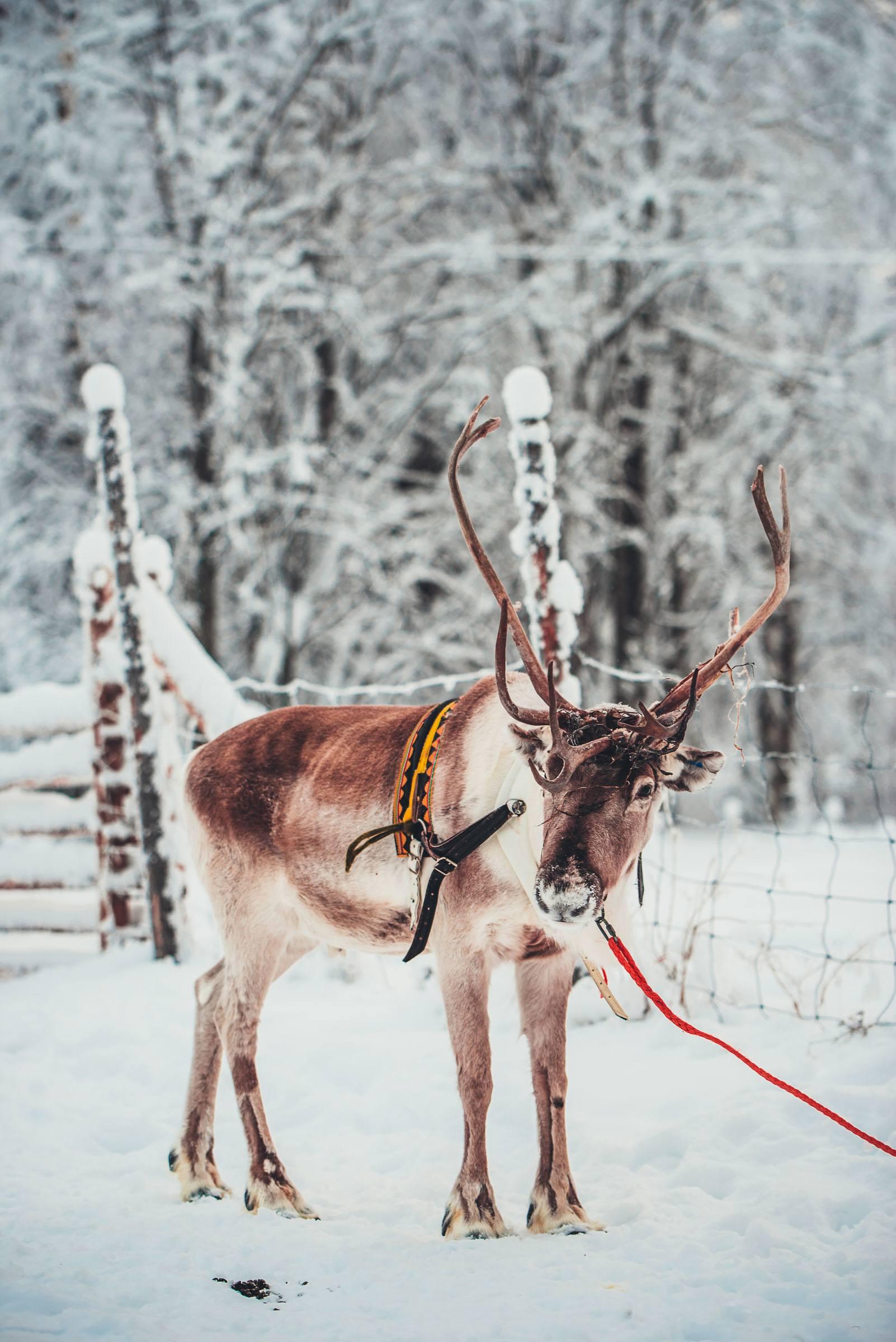Torassieppi Reindeer Sleigh Ride Finland
