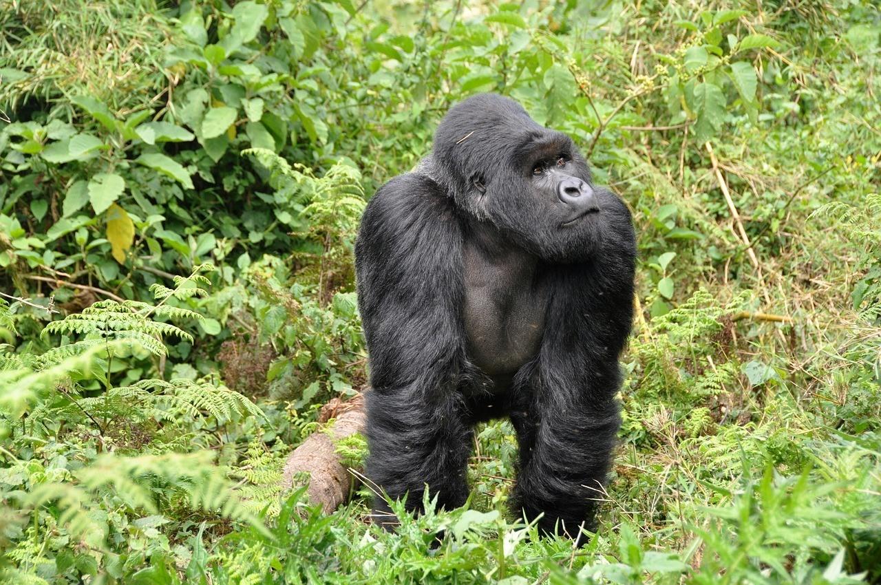 Rwanda Gorilla - Safe Countries in Africa 2019