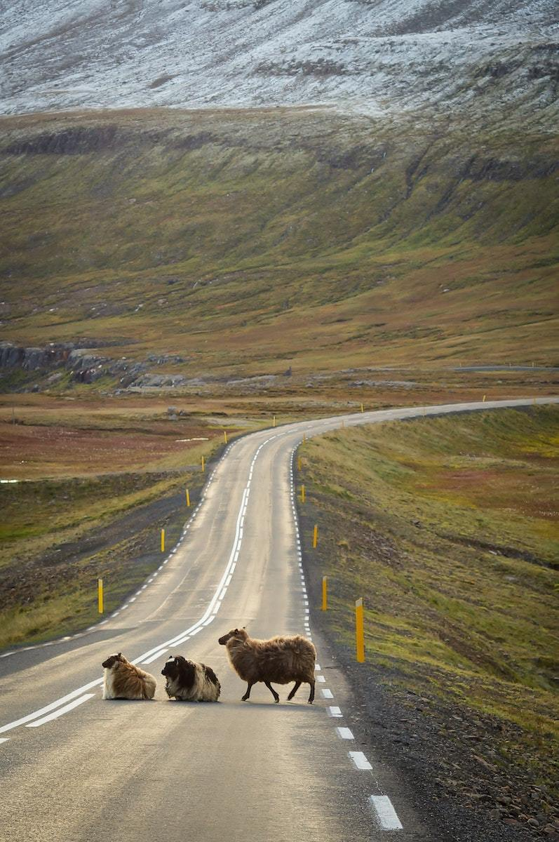 Cool Facts About Animals In Iceland