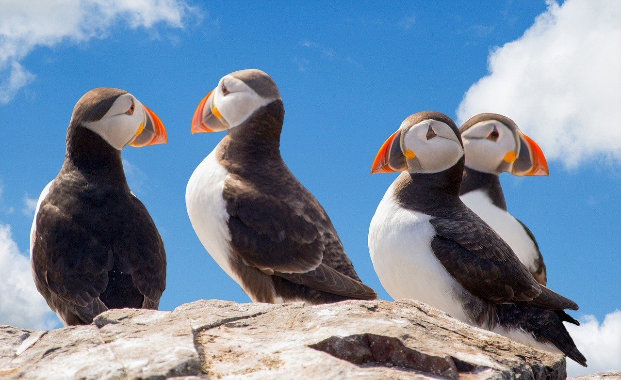 Puffins - Iceland Facts