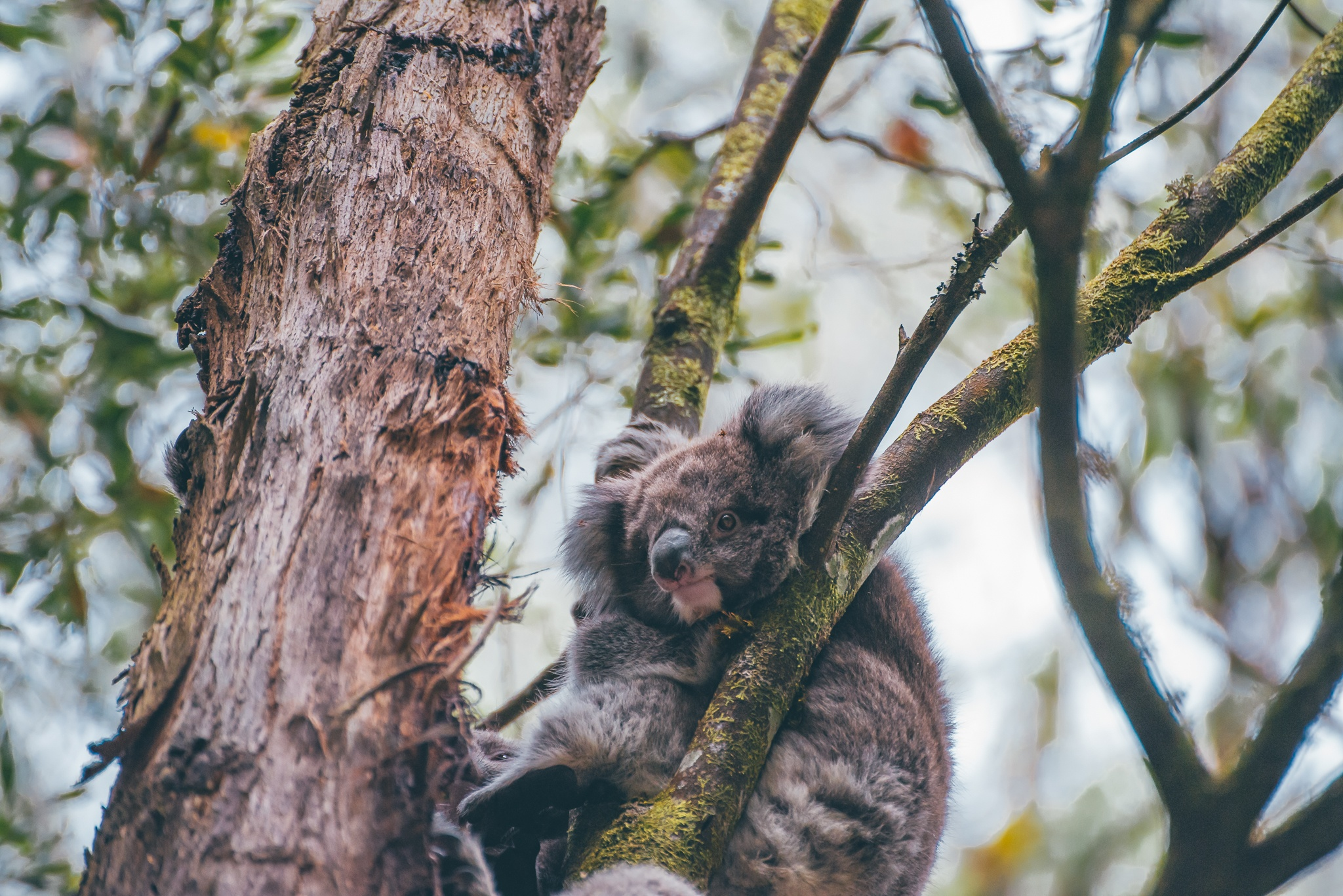 Koala - Healesville Sanctuary: Day Trips from Melbourne