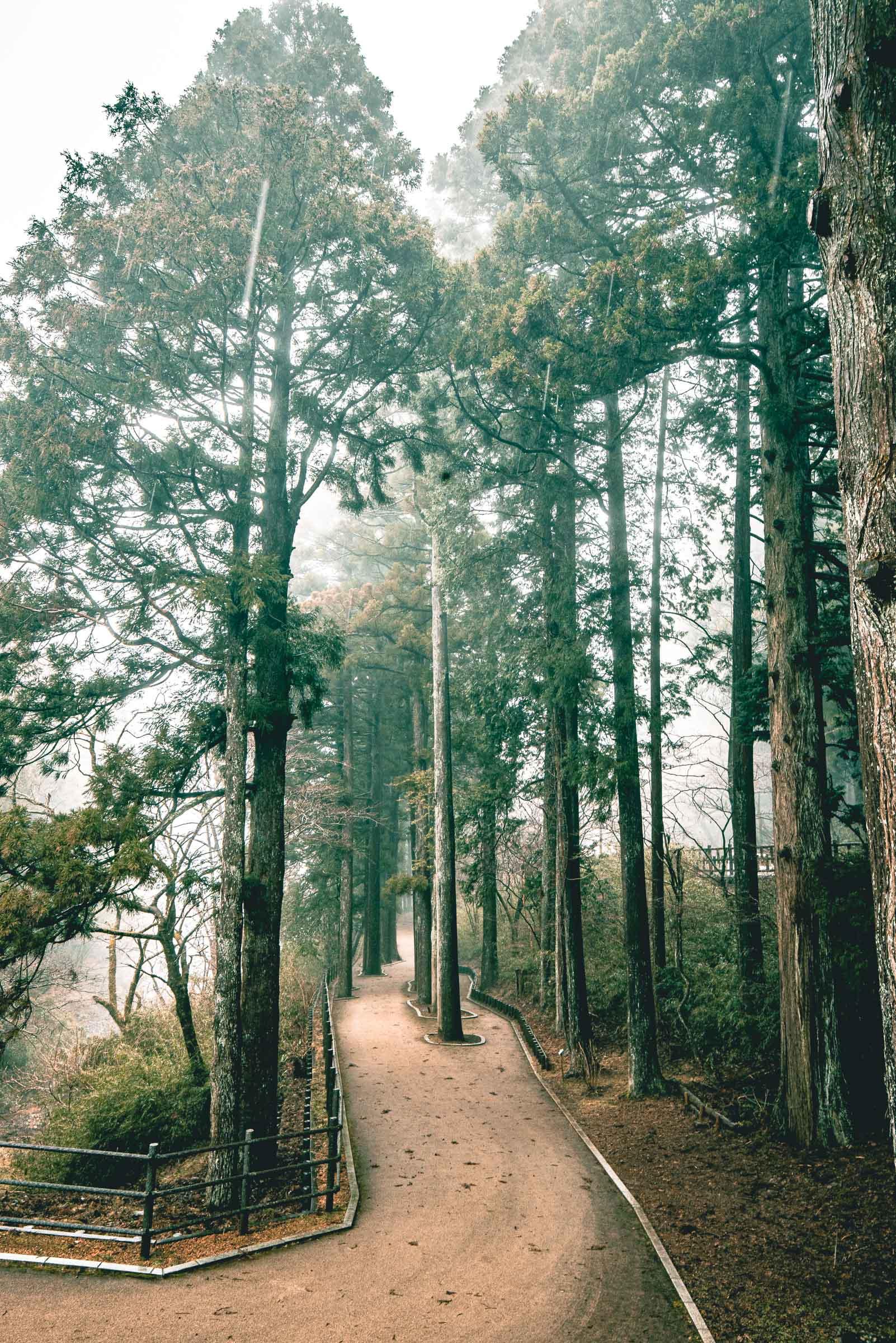 Hakone, Japan Suginamiki Japanese Cedar 2020