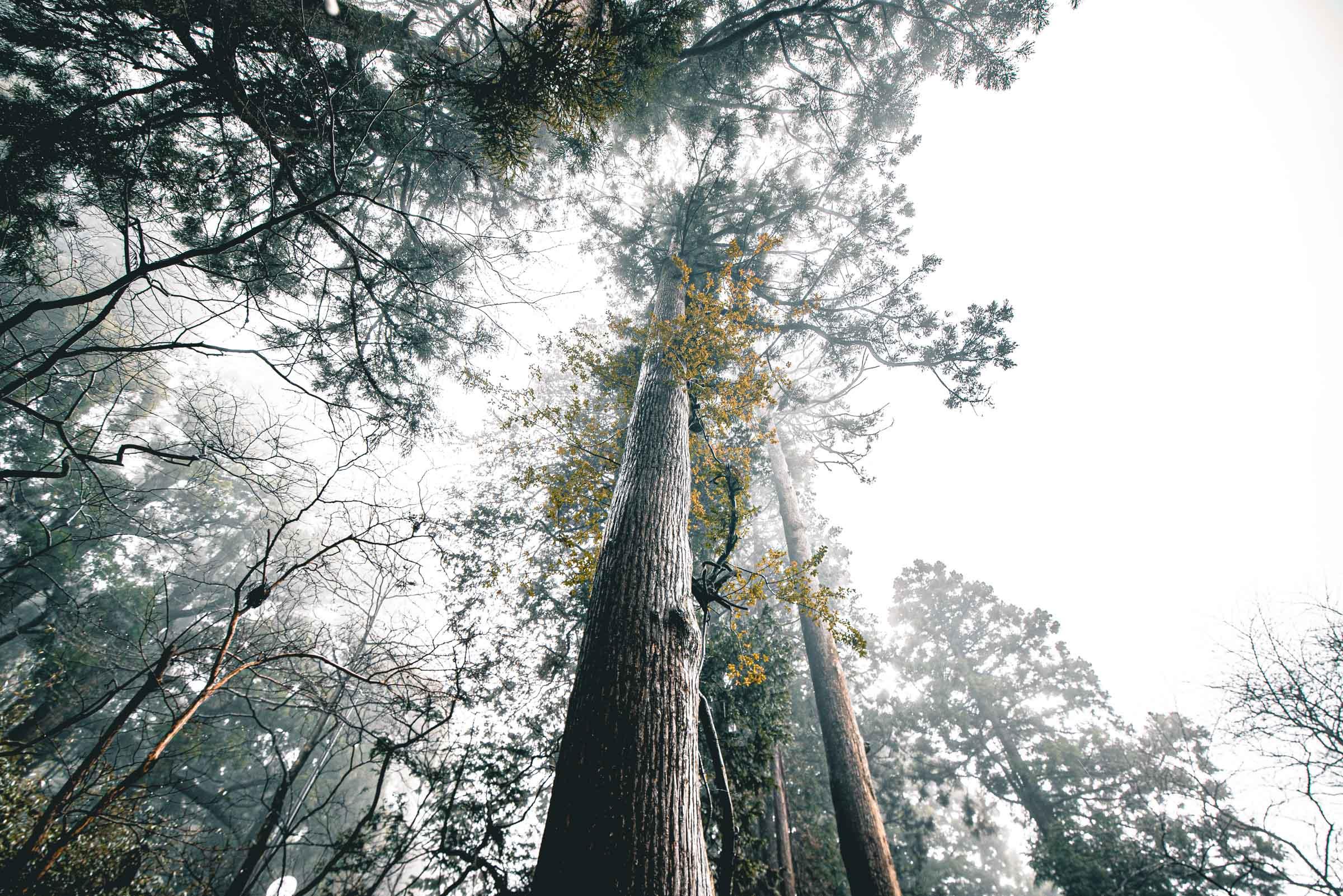 Hakone, Japan Suginamiki Japanese Cedar