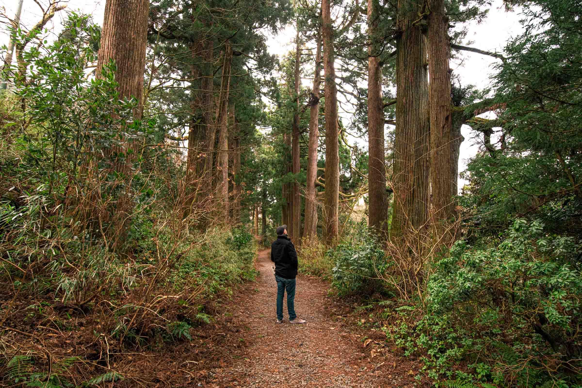 Suginamiki Japanese Cedar - Hakone, Japan