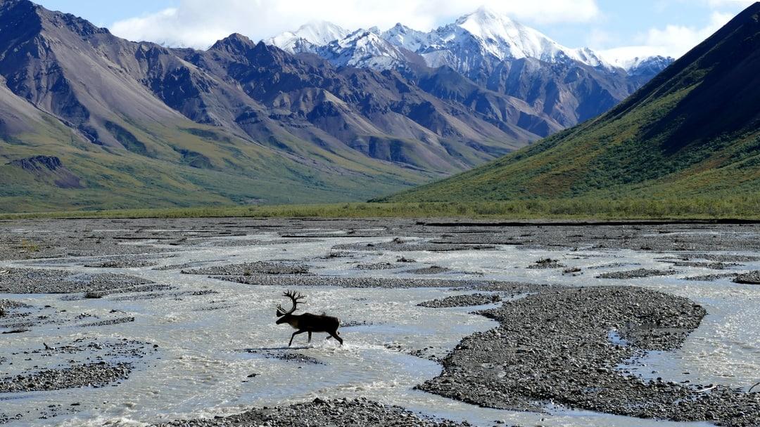 Moose crossing a river