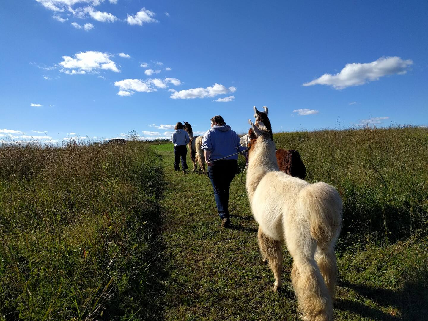 Nature Walk with Llamas- Airbnb Experiences in Charlottesville VA