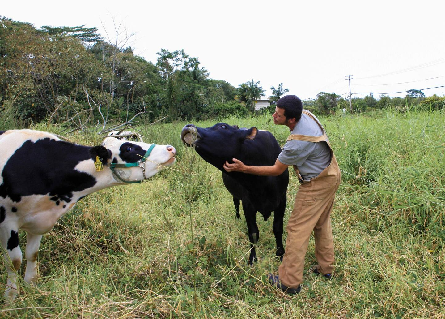 Cow Cuddle Therapy - Airbnb Experiences in Oahu
