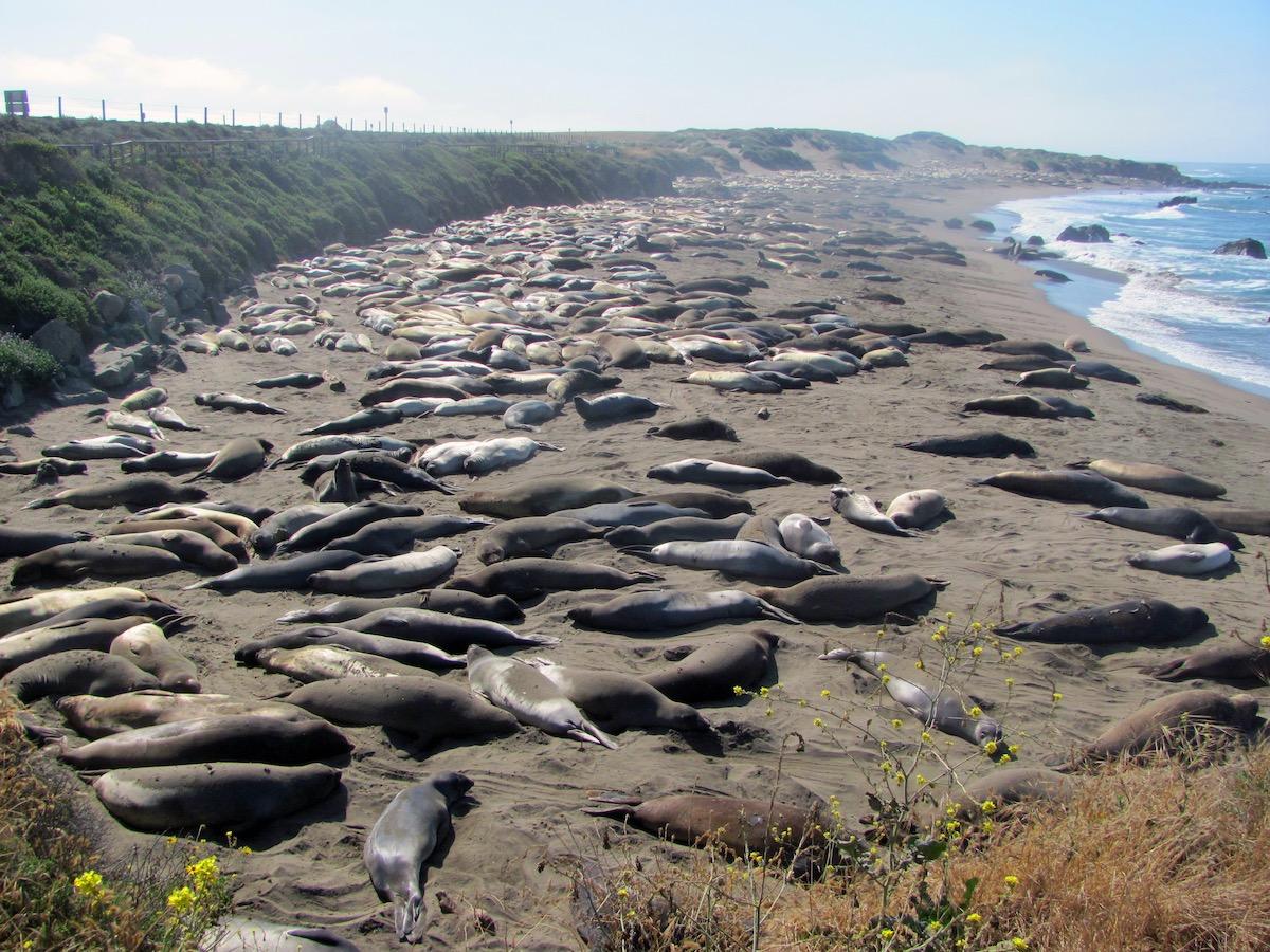 Elephant seals sleeping on beach in Elephant Seal Vista Point, San Simeon, California, USA